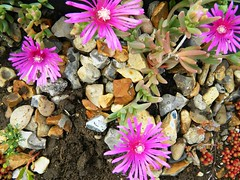 Lampranthus on the green roof