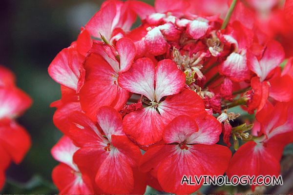 Fiery red flowers