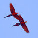 Peru: Red-and-green Macaws by spiderhunters