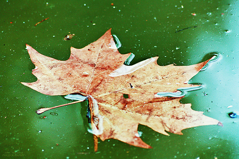 leaf on lake