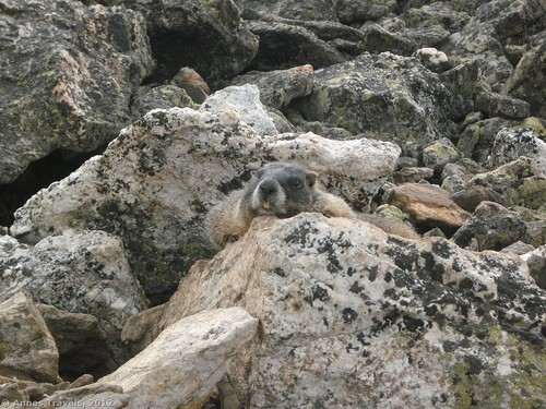 A marmot on Chapin Peak, Rocky Mountain National Park, Colorado