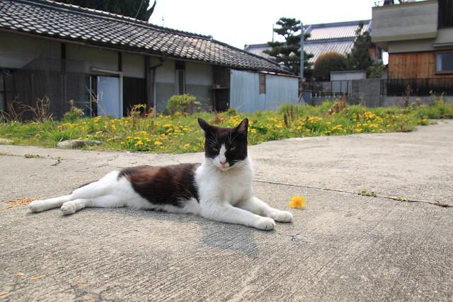 たんぽぽとねこ [Dandelion & Cat] 1