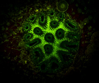 Underwater / Fluorescence photography- Coral of okinawa