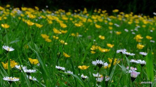 Daisies and buttercups.....:o)
