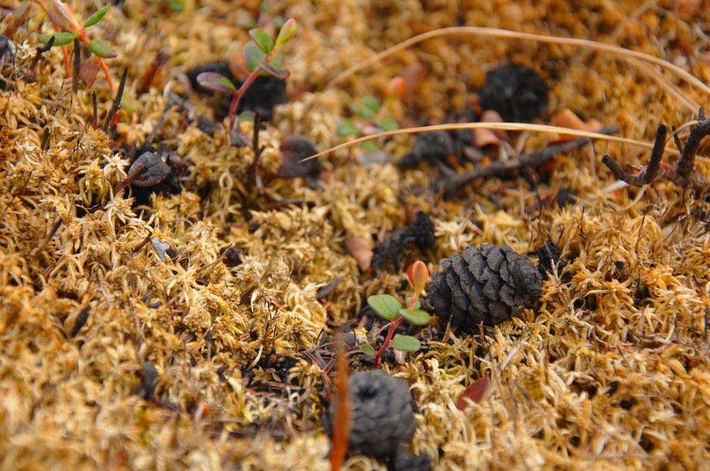 Burn pine cones