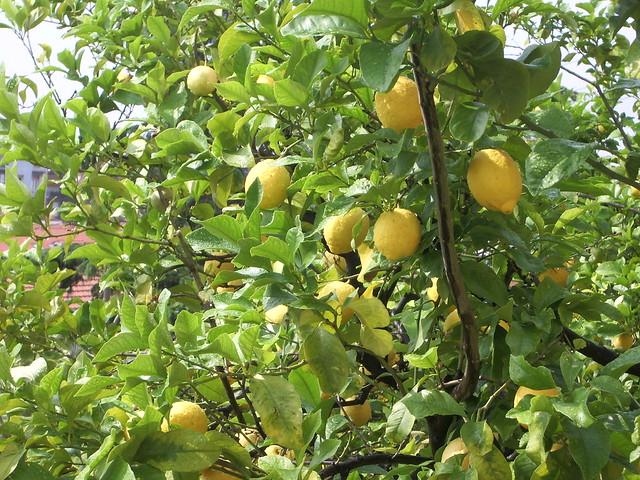 Alberi da frutto limone il limone citrus limon l for Alberi da frutto