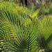 Palms in sunlight - Palmas en el sol; al sur de Zapotitlán Palmas, Región Mixteca, Oaxaca, Mexico por Lon&Queta