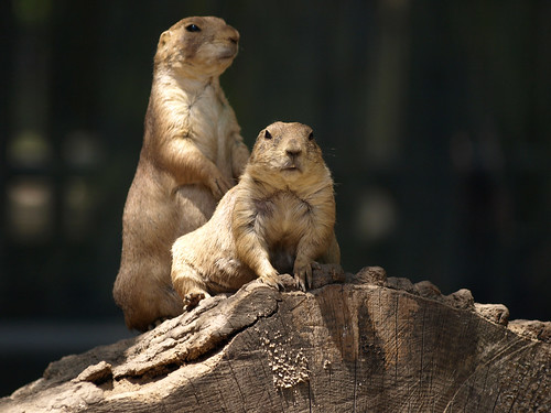 Two prairie dogs on a log