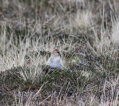 Arctic Redpoll (2)