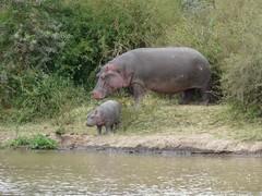 Hippo - Mpala Farm 1