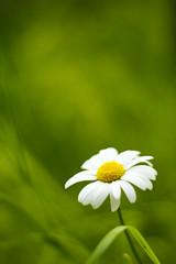 [フリー画像素材] 花・植物, ヒナギク・デイジー ID:201207020600