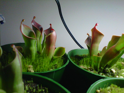 Heliamphora minor auyan