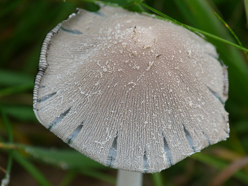 Snowy Inkcap (Coprinus niveus) by Peter Orchard