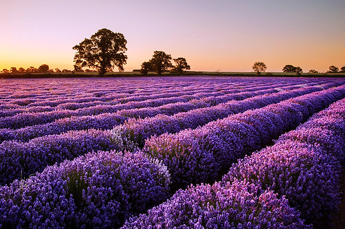 Dawn Light on the Lavender
