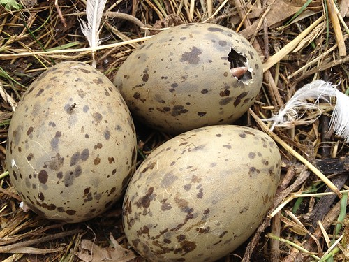 Hatching gull chicks