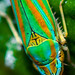 Rhododenron leafhopper/scarlet and green leafhopper - Graphocephala fennahi
