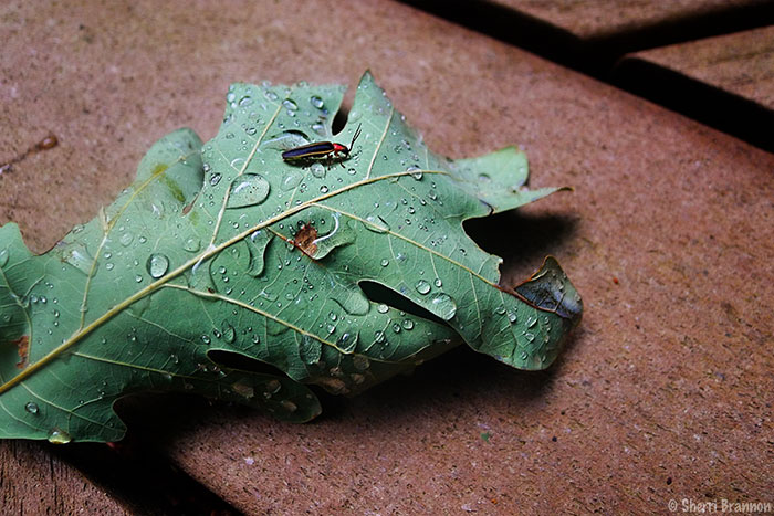 lightning bug on a leaf