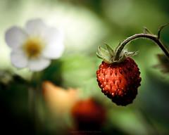 Smultron / Wild Strawberry / Fraises des Bois - Tight Crop