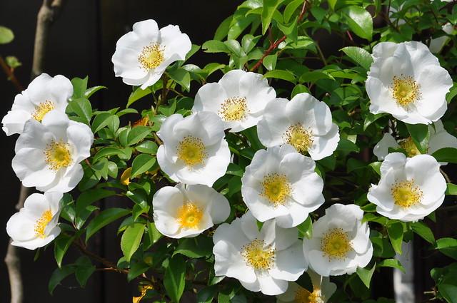 Cherokee rose rosa laevigata flickr photo sharing for Cherokee rose