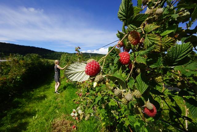 En selvplukker blant bringebærbuskene på Vestre Frogner gård.
