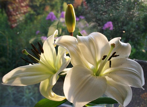 Lily Light In White