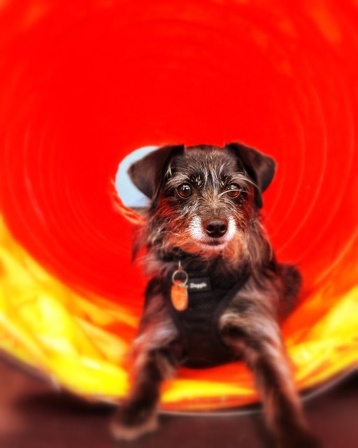 Sophia in the agility tunnel at Zoom Room Hollywood