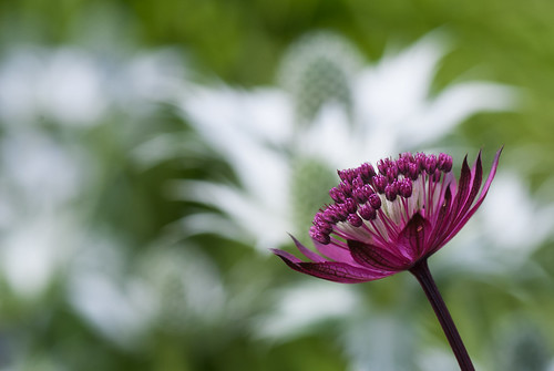 "Astrantia Major ""Claret"""