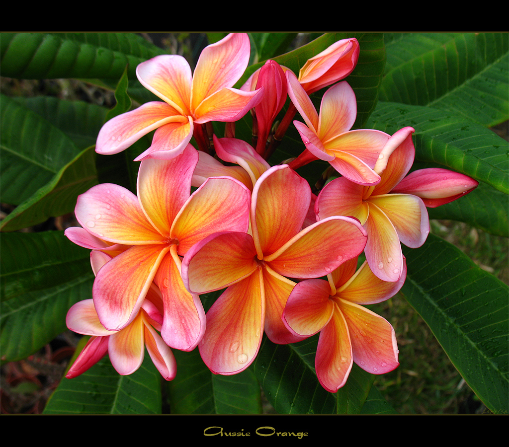 Rare flowers the plumeria aussie orange a photo on flickriver rare flowers the plumeria aussie orange izmirmasajfo