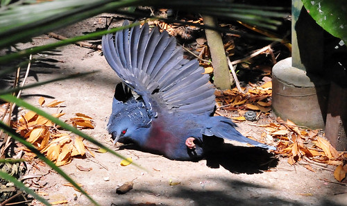 Victoria Crowned Pigeon (Goura victoria) sunning