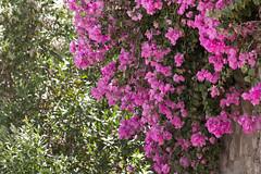 blossom, flower, plant, flora, azalea,