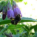 Comfrey bloom with bee