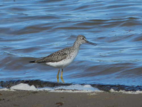 Lesser Yellowlegs vocalizing