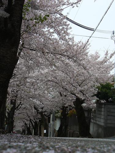 桜並木と曇り空
