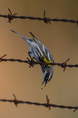 Yellow-rumped Warbler-6413.jpg by Mully410 * Images