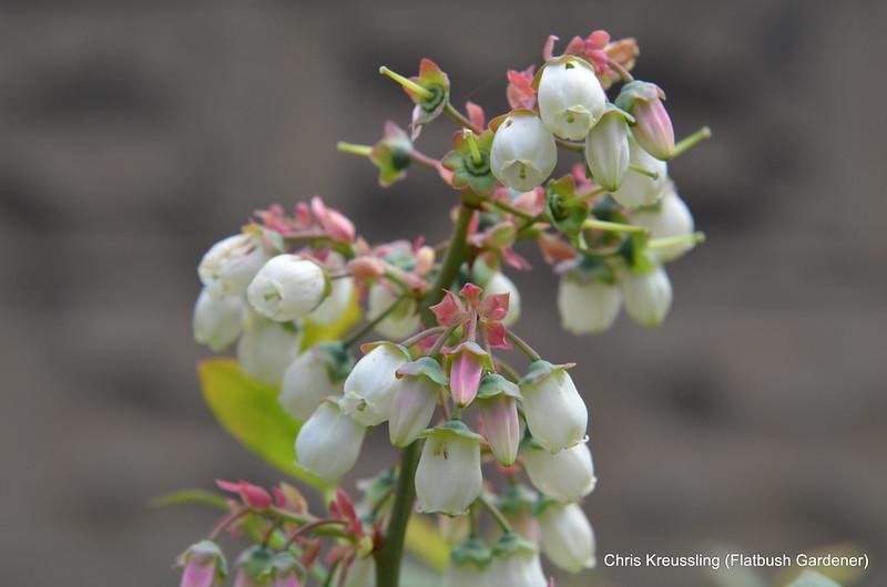 Vaccinium corymbosum, Highbush Blueberry