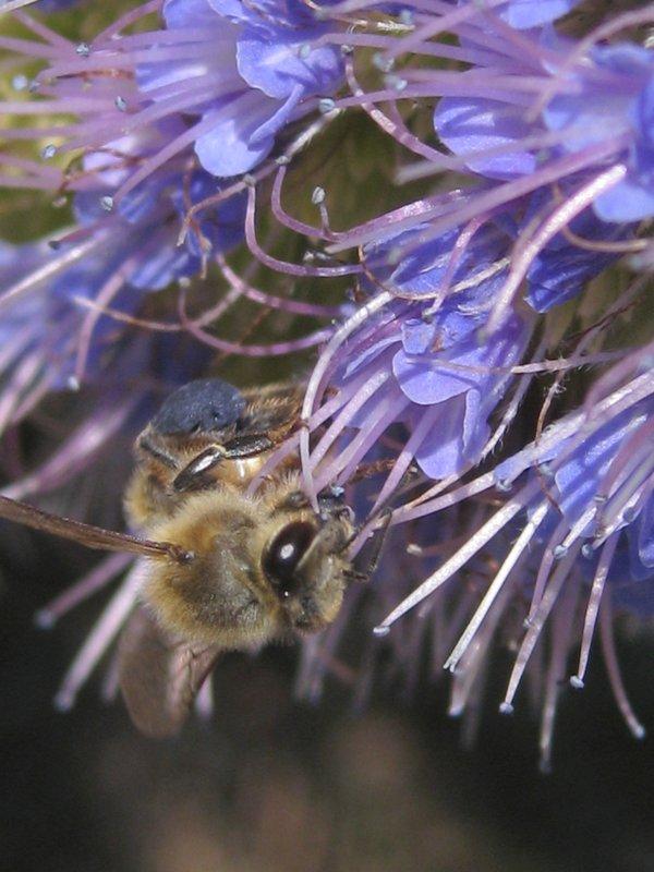 blue pollen time