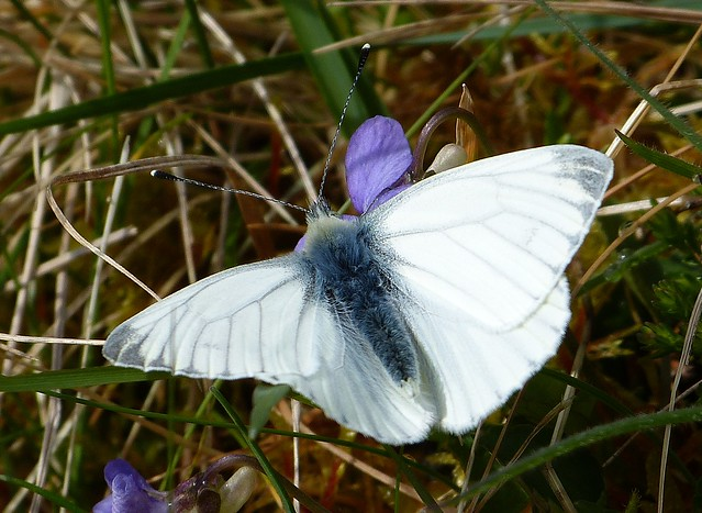 26986 - Green-veined White, Isle of Mull