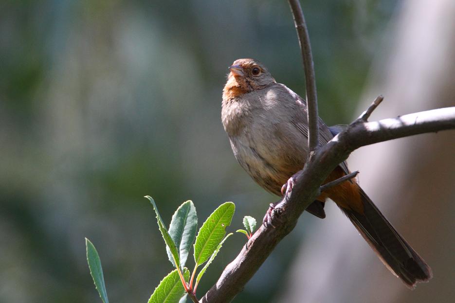 043012_bird_towhee