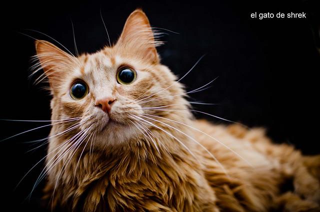 213/366: el gato de shrek