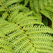 Tropical tree fern 5/30
