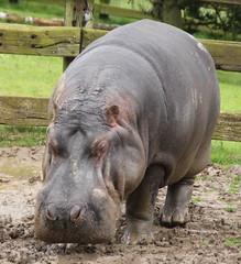 Hippopotamus: Whipsnade Zoo: 09-June 2012