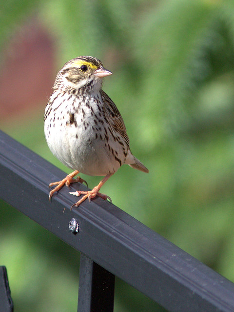 Savannah Sparrow 20120509