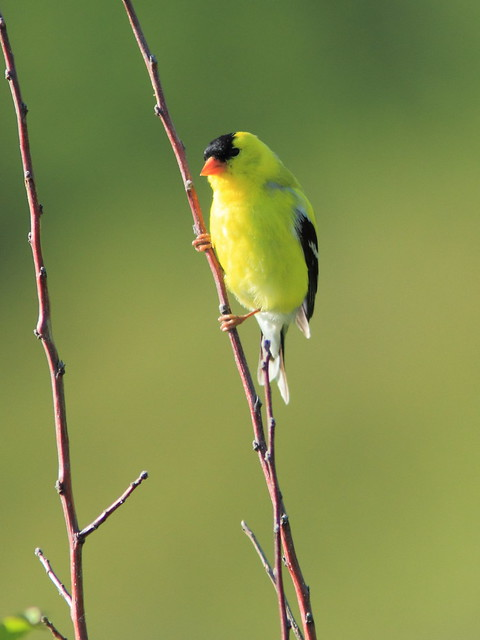 American Goldfinch 20120510