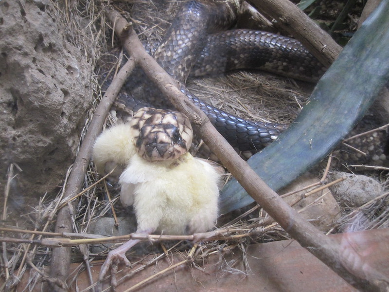 Snake Feeding Tanzania Africa