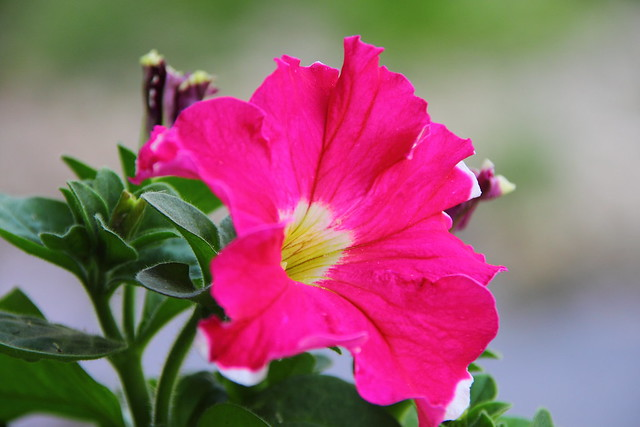 Petunia 'Surfinia' #Photography  #Foto 5