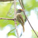 Tawny-crowned Greenlet - Photo (c) Dominic Sherony, some rights reserved (CC BY-SA)