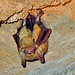 tricolored bat - Photo (c) Bob Richmond, some rights reserved (CC BY)