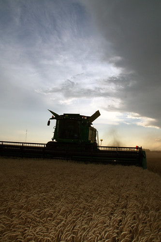 Clouds loom above us as we harvest our last field in Olney