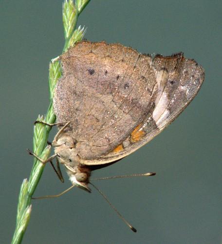 nature wildlife butterflies macrophotography orderlepidoptera commonbuckeyejunoniacoenia nikond5100 texasbutterfliesandmoths femalecommonbuckeyejunoniacoenia