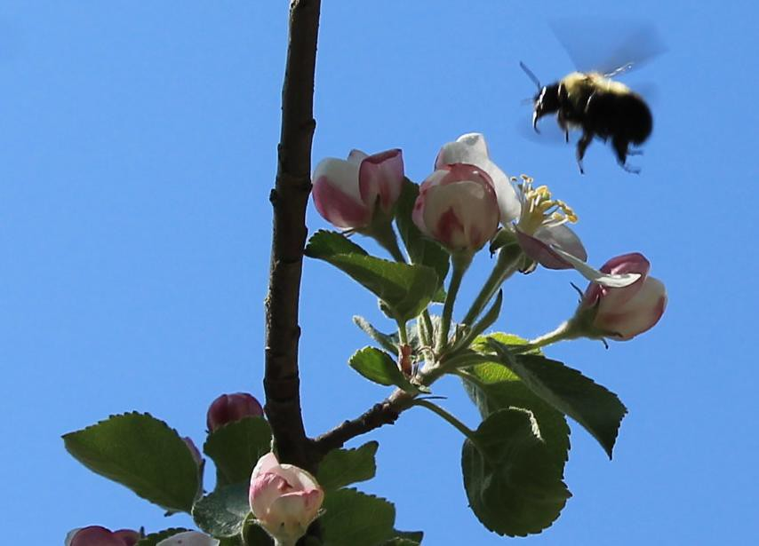 Bombus centralis hovering above apple tree